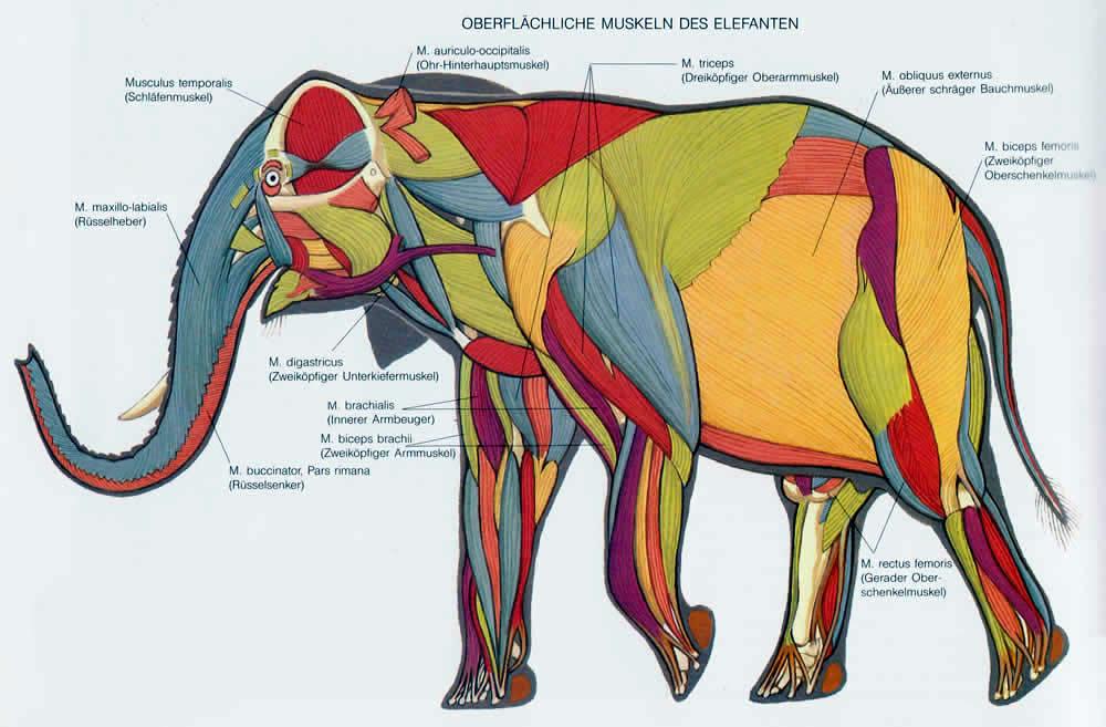 Anatomie der Elefanten – Upali.ch