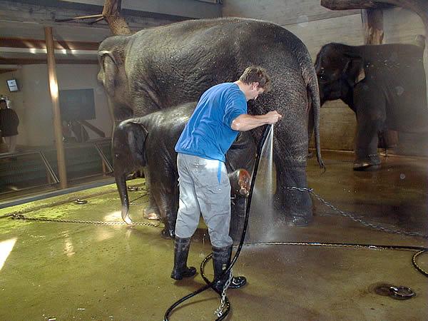 Elefanten waschen