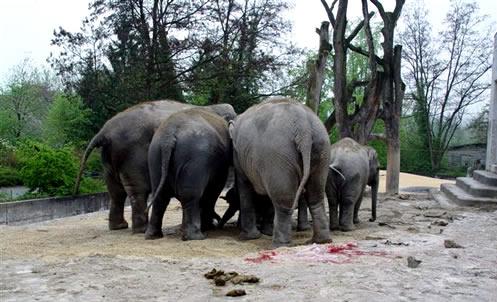 Geburt von Fahara im Aussengehege Zoo Zürich