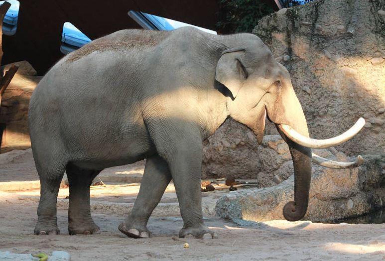 Elefantenbulle Maxie Zoo Zürich