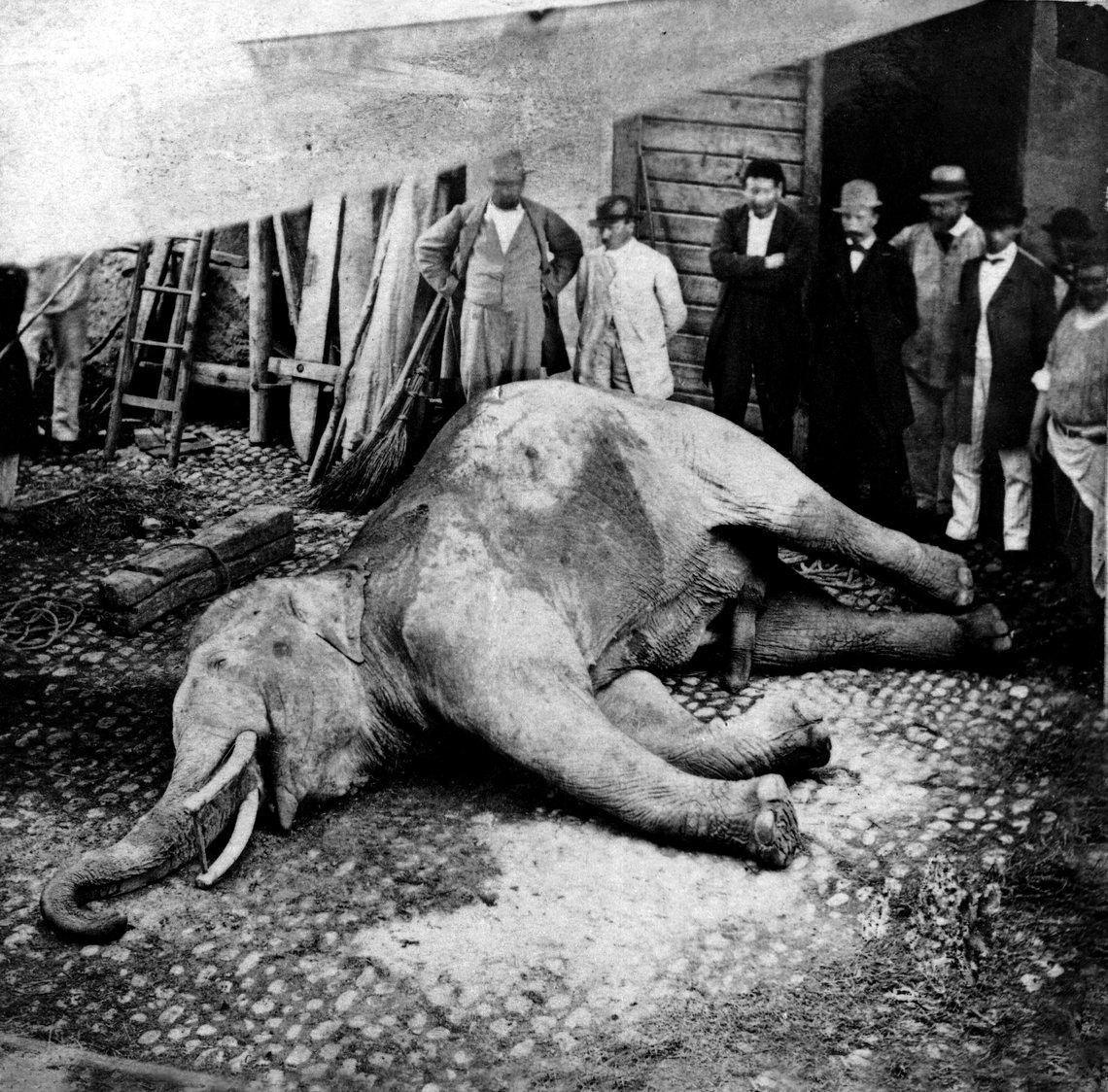 murtener-elefant