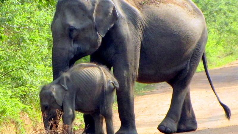 Hunger im Udawalawe-Nationalparks in Sri Lanka