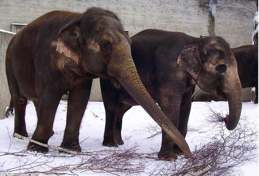 Elefanten im Schnee