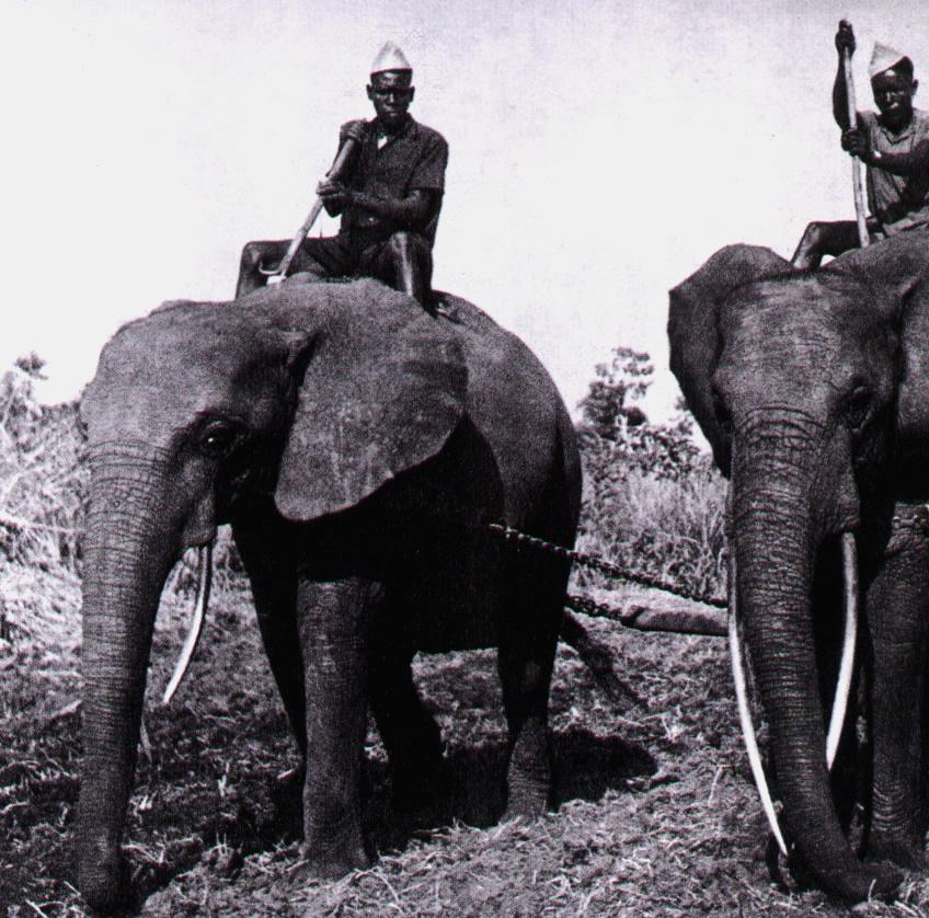 Afrikanische Arbeitselefanten