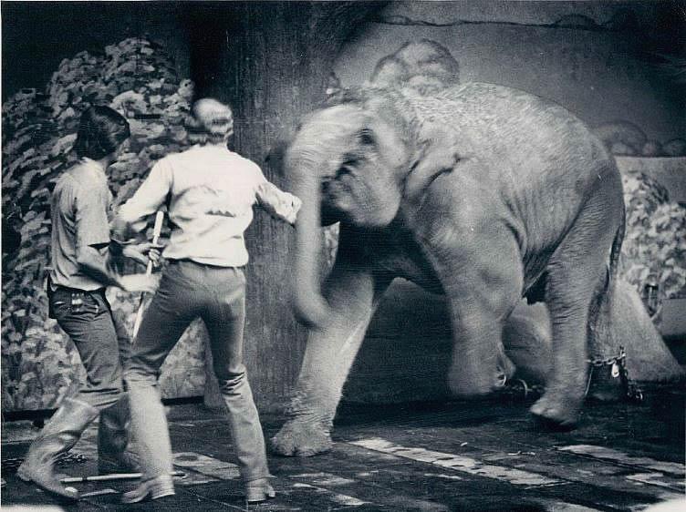 Angriff eines jungen Elefanten
