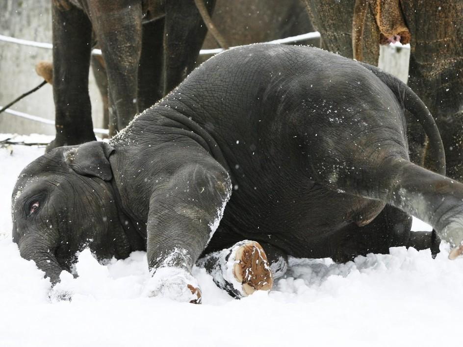Elefant suhlt im Schnee